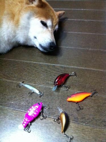 犬対ルアー.JPG